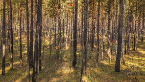 Morning in Autumn Forest Royalty Free Stock Photo
