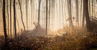 Morning in the autumn forest, sunlight passes through the mist_ royalty free stock image