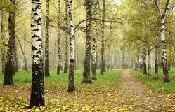 Morning autumn mist in october birch grove at crossing paths Royalty Free Stock Photo