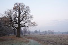 Morning autumn oaks. Fog on a background Royalty Free Stock Image