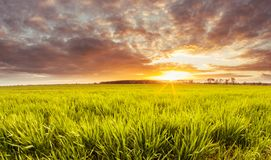 Morning awakening in the wheat culture royalty free stock photo