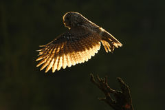 Morning back light. Flying owl. Owl in the forest. Owl in fly. Action scene with owl. Flying Eurasian Tawny Owl, with dark blurred Stock Image