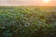Morning bean field Stock Image