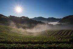 Morning at beautiful strawberries farm. Stock Photos