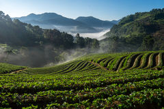Morning at beautiful strawberries farm. Stock Photography