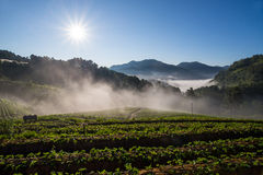 Morning at beautiful strawberries farm. Royalty Free Stock Images