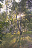 Morning in a birch forest. Spa Myrgorod in Ukraine 8th June 2013 stock image