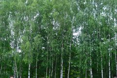 Morning in the birch forest stock image