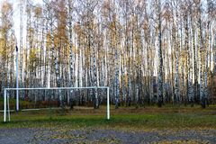 Morning in birch grove. Royalty Free Stock Image