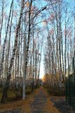 Morning in birch grove. Stock Photos