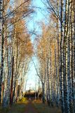 Morning in birch grove. Stock Images