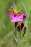 Morning breakfast moth. Delicate pink flowers field bright pinks stand out among a field of green grass. Every morning they blossom new buds. They are very Royalty Free Stock Photography