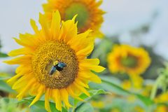 Morning with bumble bee and sunflower. Beautiful scene in morning  with sunflower Stock Photography