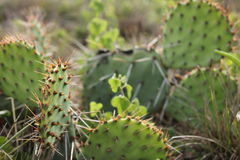 Morning Cactus Royalty Free Stock Images