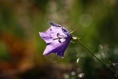 Morning campanula. Stock Image