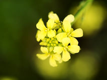 Morning Canola Flower Stock Images