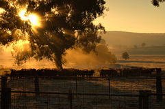 Morning cattle Stock Photography