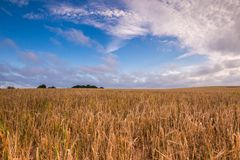 Morning cereal field under blue sky with clouds Royalty Free Stock Photos