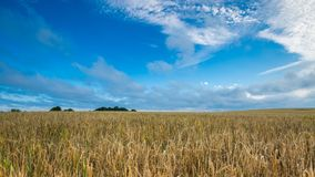 Morning cereal field under blue sky with clouds Royalty Free Stock Images
