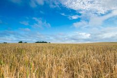Morning cereal field under blue sky with clouds Royalty Free Stock Photo