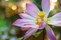 Morning Cheerful Water Lily royalty free stock photos