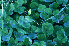 Morning clover  wet carpet Royalty Free Stock Photography