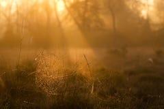 Morning cobweb Royalty Free Stock Image