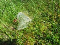 Morning. cobweb. dew. Royalty Free Stock Photo