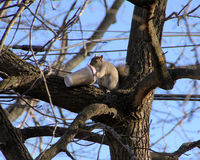 Morning coffee for a busy day. Squirrel dug coffee cup out of trash and carried it up tree to clean it out royalty free stock photos