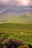 Morning in Connemara. Sheep grazing in Connemara, Co.Galway, Ireland Royalty Free Stock Image