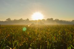 Morning in the corn farm royalty free stock image