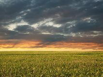 Morning Corn Field. Corn Field at Sunrise, Dramatic Sky royalty free stock photos
