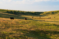 Morning in the Cow Pasture. The sun rises over a pasture of cows in the Nebraska sandhills Royalty Free Stock Images