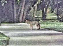 Morning coyote Stock Images