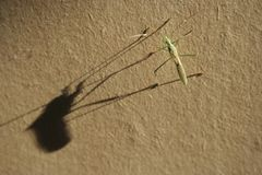 Morning critter. An insect casting a long shadow Stock Photos