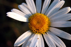 Morning daisy Stock Image