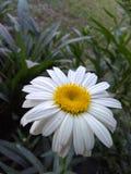 Morning Daisy stock photography