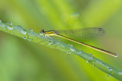 Morning Damselfly Royalty Free Stock Images