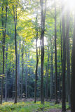 Morning in the deciduous forest Royalty Free Stock Photo