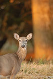 Morning Deer Royalty Free Stock Photo