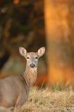 Morning Deer royalty free stock photo