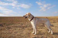 Morning in desert. Kind of the young dog labrador in desert Stock Image