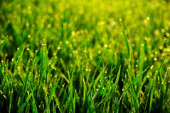 Morning dew. Morning drops dew in grass Stock Photo