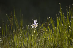 Morning Dew. On an open meadow and iris, backlit Royalty Free Stock Image