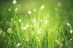 Morning Dew. Dewdrops collecting in grass at sunrise Stock Photography