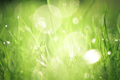 Morning Dew. Dewdrops collecting in grass at sunrise Royalty Free Stock Images