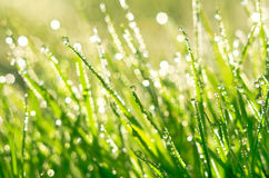 The morning dew. Royalty Free Stock Images