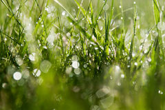 Morning dew. Dew drops on grass, shallow depth of field Stock Photography