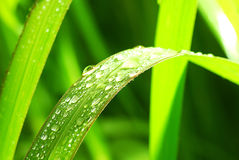 Morning-dew Royalty Free Stock Image