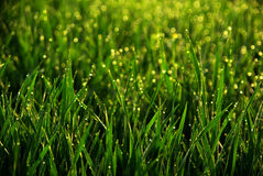 Morning dew. Morning drops dew in grass Stock Photography